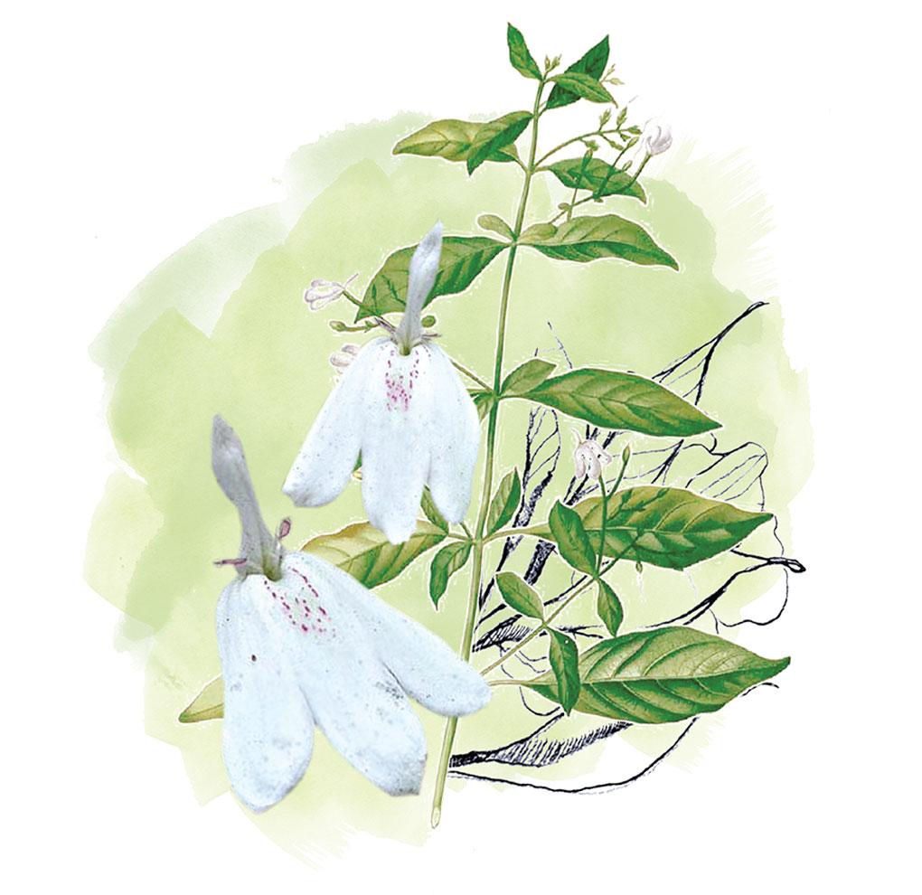 White Crane Leaf Extract Sabai Arom